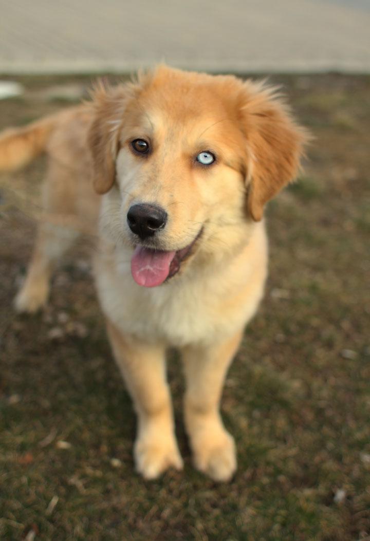 Golden Retriever Husky mix pup 2