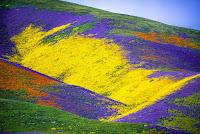 California's Wildflower Super Bloom