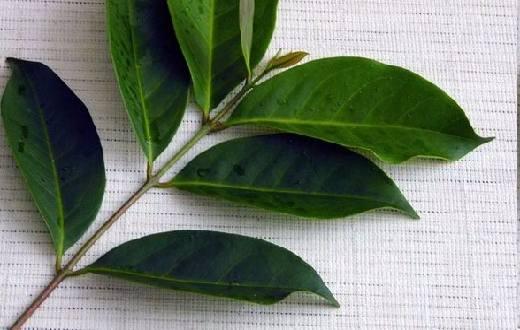 Daun salam memiliki kandungan senyawa flavonoid, tanin, astiri alkaloid yang merupakan senyawa alami berasal dari tumbuhan.