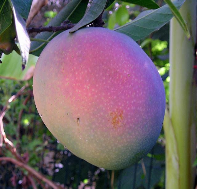 राष्ट्रीय फल आम