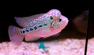 gambar ikan louhan yang bagus
