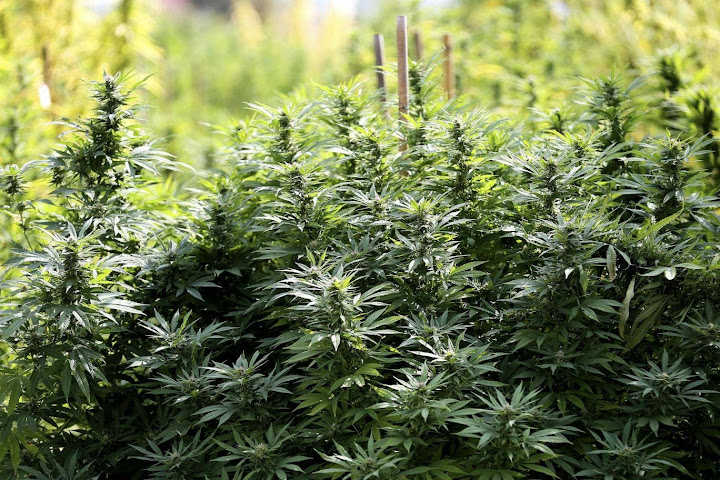 Public warned against growing cannabis without official permission — Satang.info