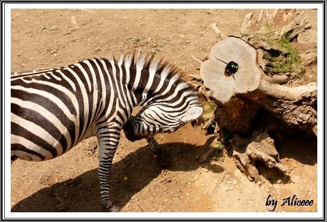 zoo-Nyiregyhaza-zebra
