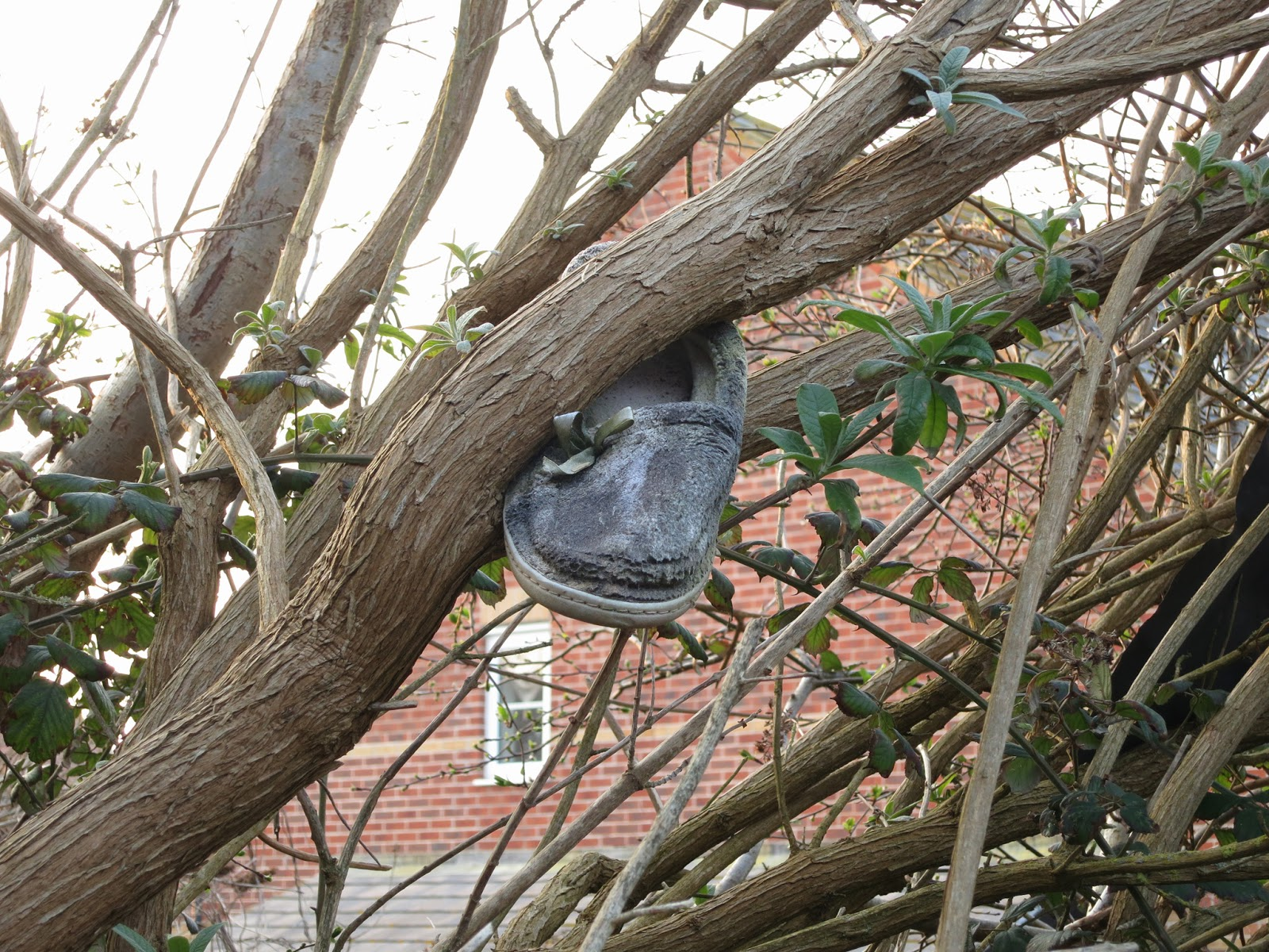 Grey, flat shoe in buddleia tree with bare branches