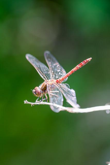 Gartenimpressionen im Herbst, Pomponetti, Libelle
