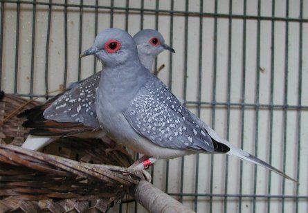 Diamond Dove Care Diamond Dove Care As A Pet Bird