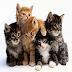 Interesting Facts on 'Cat' in Hindi  - Billi animal ke rochak tathya