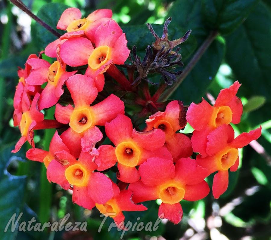 Flores de una especie del género Rondeletia