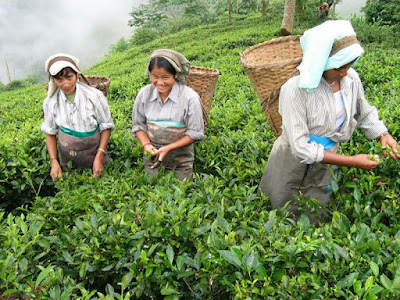 Plucking Darjeeling tea leaves