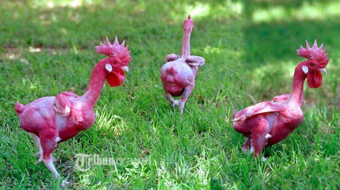 Unik, Ilmuan Berhasil Ciptakan Ayam Tanpa Bulu Seperti Ini. Jadi Terlihat Seperti Telanjang