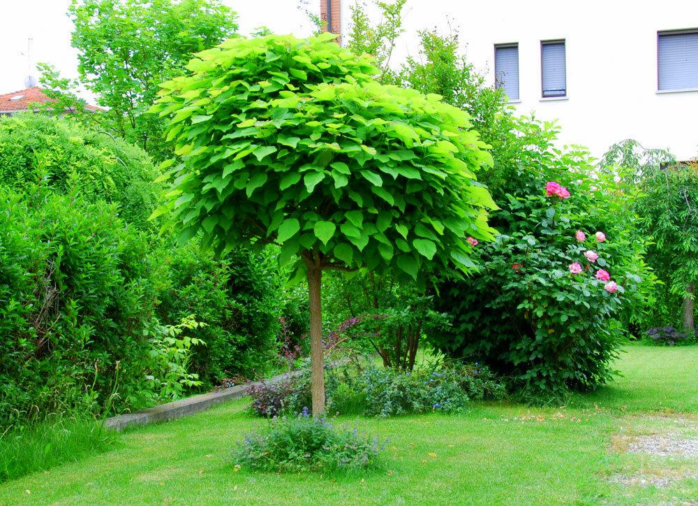 Il mondo in un giardino la pianta antizanzare for Alberi ornamentali sempreverdi da giardino