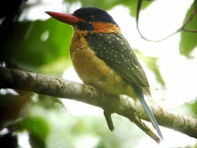 Alción de Mindanao Actenoides hombroni