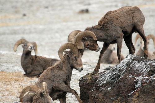 Bio227fall2015 10 The Sierra Nevada Bighorn Sheep