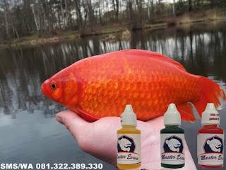 Essen Yang Gacor Untuk Ikan Mas