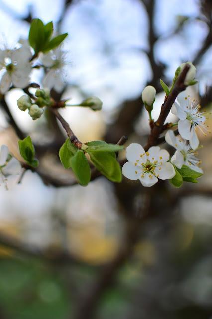 Sinikka-luumu kukassa