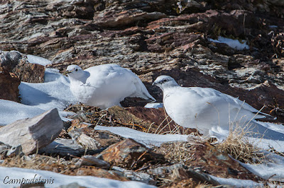 Perdiu blanca (Lagopus muta)