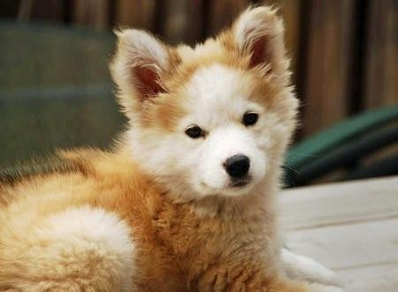 Golden retriever  Siberian husky