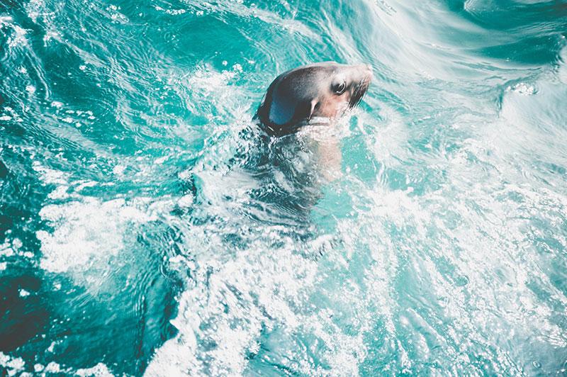 wild seal off sea rock phillip island melbourne victoria