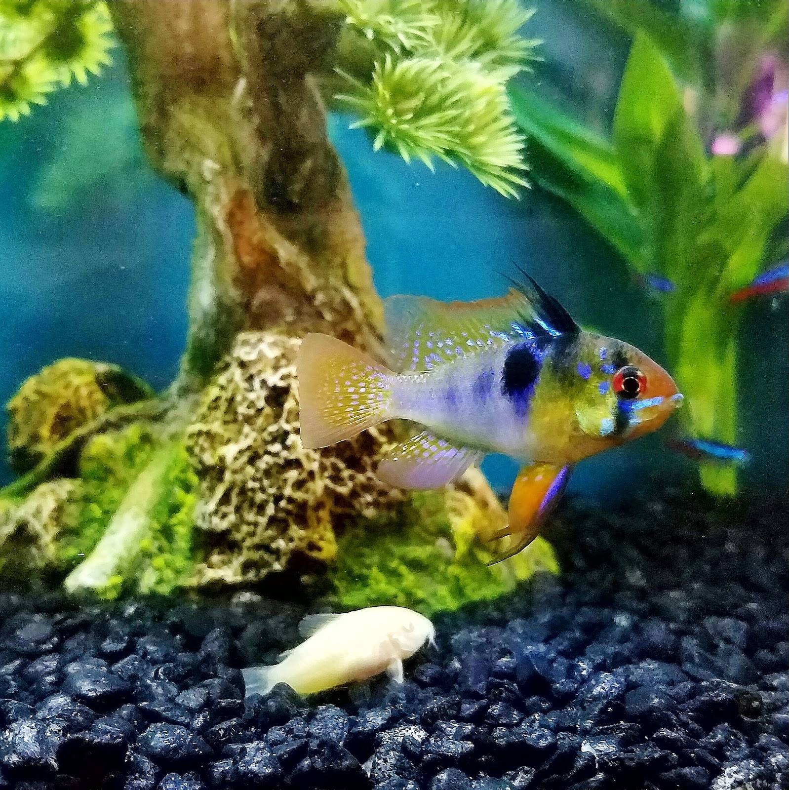Fish in tank diseases - Healthy And Unstressed Fish Are Better Equipped To Fight Off Diseases All Of My Existing Fish Survived Ich And Some Didn T Even Got A Single Spot