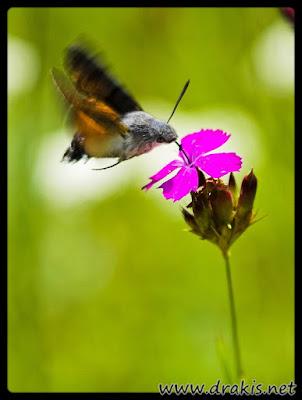 Picaflor sobre Dianthus