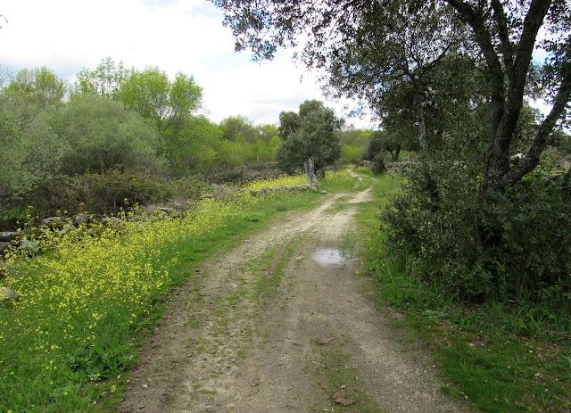 Primavera, senda la Puente, caminos con flores, flores amarillas,Fresnedilla de la Oliva
