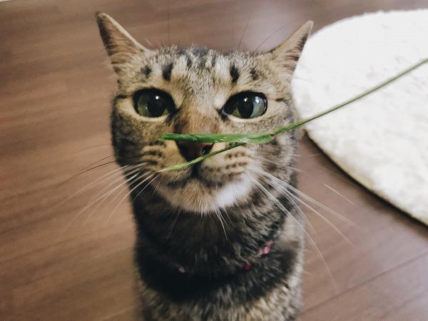 茎だけになったエノコログサとキジトラ猫