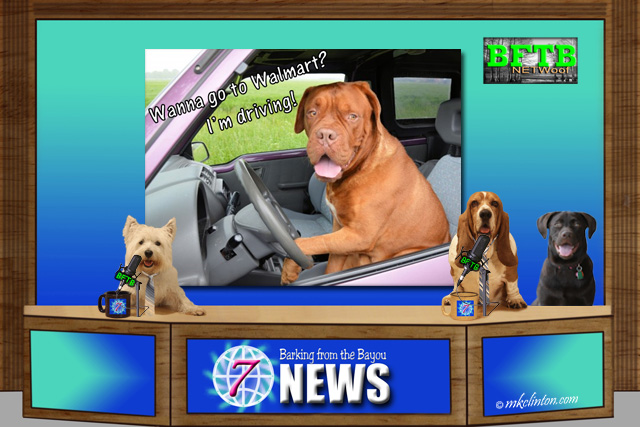 BFTB NETWoof News team of Basset, Westie and Lab. Screen shows dog in car driving.