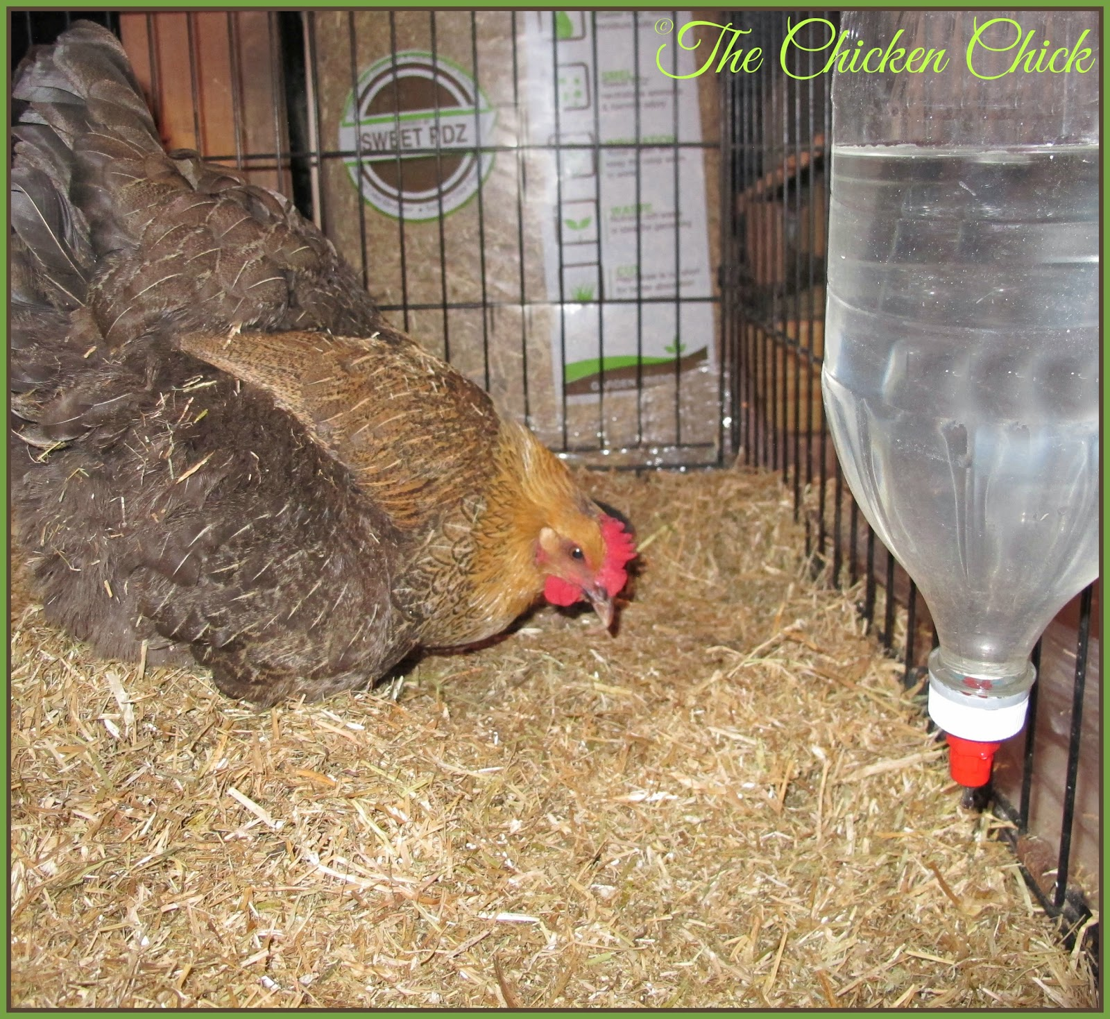 My chickens love scratching through Koop Clean!
