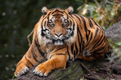 Steel Reviews Tiger Stripes Awesome Shirogorov