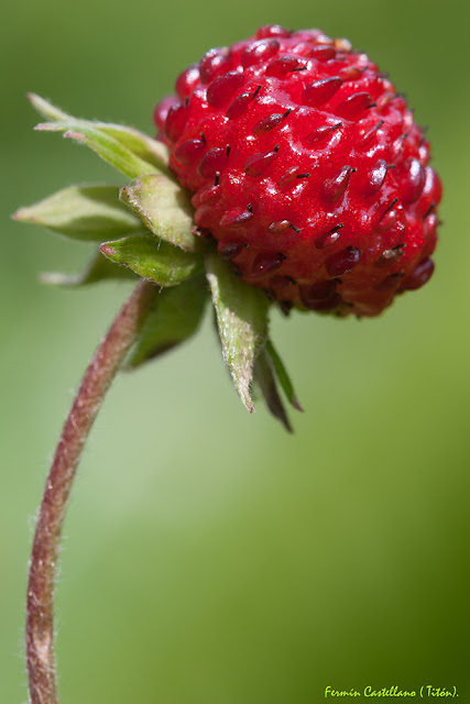 Fresa silvestre (Fragaria vesca)