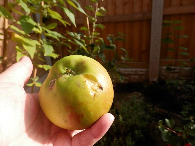 My homegrown harvest, September 2017. By UK garden blogger secondhandsusie.blogspot.com #gardenharvest #homegrownharvest #organicgarden #permaculturegarden #suburbanpermaculture