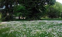 Trawnik ze stokrotkami w ogrodzie barokowym w Nieborowie