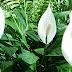 Cara Merawat Bunga Peace Lily Agar Rajin Berbunga
