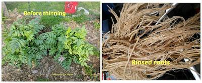 harvesting valerian roots