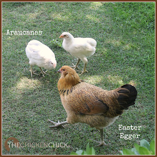 """AMERICANA"": a marketing tactic for selling hybrid Easter Egg chickens with spelling deceptively similar to the Ameraucana breed name. EEs are not an APA recognized breed, they are a mix of different breeds with one parent carrying a blue egg-laying gene. EEs can lay a rainbow of egg colors, including: any hue of blue or brown or any combination of the two. Traits include pea combs and wattles that are either small or absent. usually possess greenish legs and beards with muffs. EEs are found in an infinite array of feather colors, which makes them a beautiful and unique hybrid chicken."