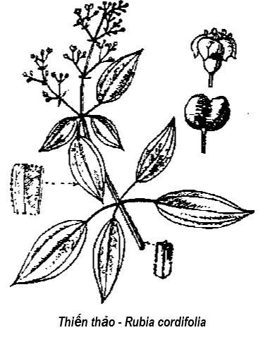 Hình vẽ Thiến thảo - Rubia cordifolia - Nguyên liệu làm thuốc Cầm Máu