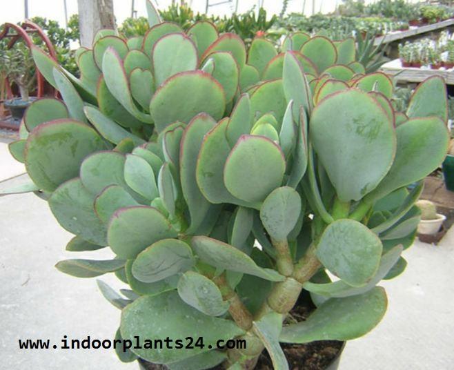 CRULA%2BARBORESCENS House Plants That Waxy Leaves on dark green house plants, cactus house plants, leaf house plants, succulent house plants,