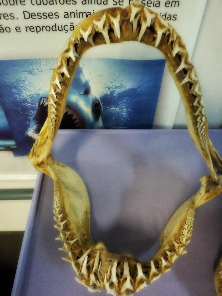 Dentes de Tubarão, no CECLIMAR, em Imbé
