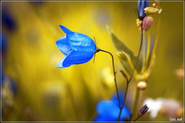 ảnh hoa màu xanh đẹp
