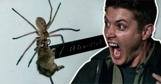 Ve a esta araña cangrejo gigante correr con un ratón