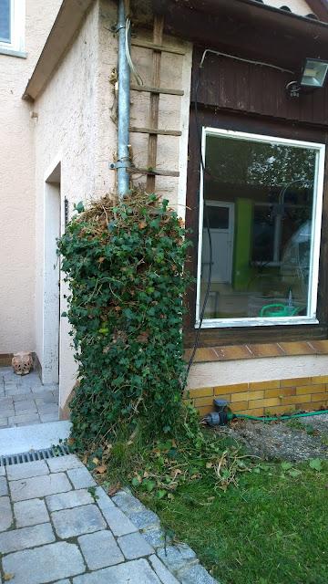 gestutzter Efeu am Haus (c) by Joachim Wenk