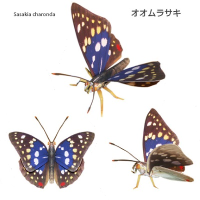Japanese Emperor Butterfly Papercraft