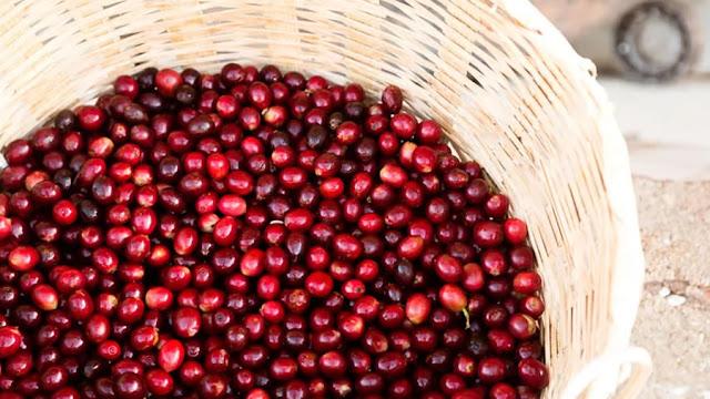 Pesquisa identifica cafés especiais com características raras e qualidade excepcional