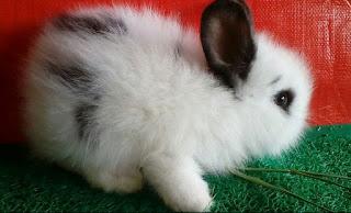 Daftar harga kelinci anggora sepasang dewasa, umur 2 bulan, dan lokal
