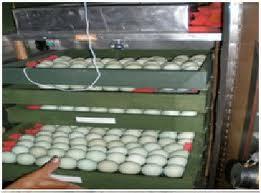 penyimpanan telur tetas