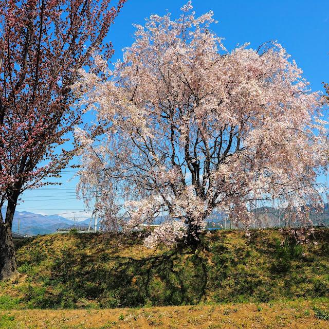 勝沼氏館跡 桜