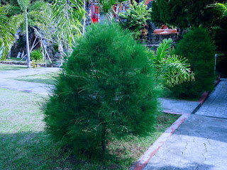 Spruce Plants In The Garden Yard Of Brahmavihara Arama Monastery North Bali