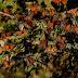 A espetacular migração das borboletas-monarcas