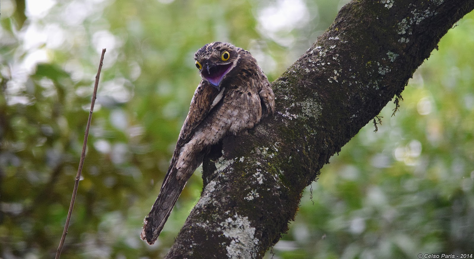 Birds of Southeast Brazil  Common Potoo   Nyctibius griseus cornutus Common Potoo   Nyctibius griseus cornutus