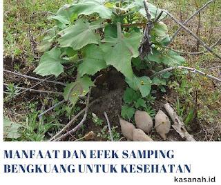 tanaman bengkuang